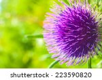 Purple Thistle In Green Meadow