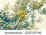 Mimosa Branch With Yellow...
