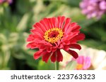 Zinnia Flower Closeup Of Red...
