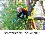 Small photo of Eating Red Panda - Ailurus fulgens fulgens