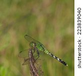 Small photo of Green dragonfly on a stick waiting for a bug to come by