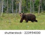 male bear walking in a swamp... | Shutterstock . vector #223954030