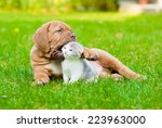 Stock photo bordeaux puppy dog playing with kitten on green grass 223963000