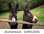 Two spanish donkeys pose for...