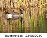 Canada Goose With Fall Colors...