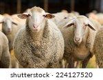 Portrait of cute sheep in herd...