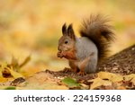 Portrait Of A Red Squirrel...