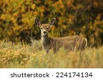 A Young Mule Deer Fawn In...