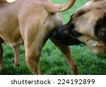 Dog Sniffing Other Dog's Rear ...