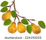 Pear Tree Branch With Fruits...