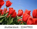 Red Tulips And Blue Sky  Across ...