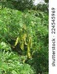 honey locust  gleditsia... | Shutterstock . vector #224545969