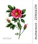 vector. watercolor dog rose... | Shutterstock .eps vector #224616154