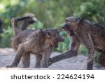 Baboons Fighting In Kruger...