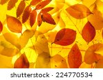 yellow and red leaves background | Shutterstock . vector #224770534