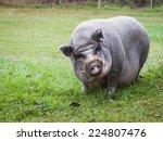 Pot Bellied Vietnamese Pig