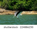 White Bellied Sea Eagle Huntin...