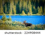 Majestic Bull Moose Surveys Th...