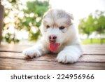 Stock photo cute siberian husky puppy in garden 224956966