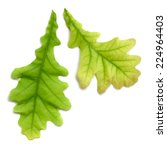 Vector Isolated Oak Leaves On...