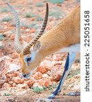Small photo of Addax walking in national park. Addax nasomaculatus.
