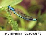 Common Blue Damselfly Male