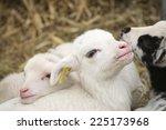 Close Up Of A Little Lamb.