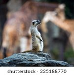 meerkats in the zoo. | Shutterstock . vector #225188770