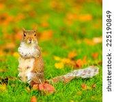 Grey Squirrel In Autumn Fall...