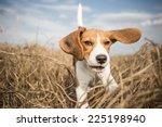 Stock photo beagle dog running in nature 225198940