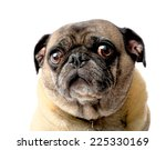 Stock photo sad pug dog on a white background 225330169