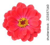 Red Zinnia Flower Isolated On...