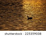 Lone Duck Swimming Across...