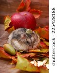 Small photo of little hamster with acorn cup on head in autumn scenery