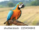 Blue And Gold Macaw Macaw...