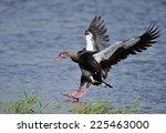 Spur Wing Goose Landing