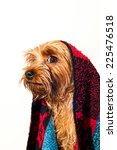 Cute yorkshire terrier after bath profile portrait isolated on white - stock photo