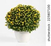 pot of yellow flowering...   Shutterstock . vector #225807100