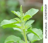 macro of green holy basil | Shutterstock . vector #225859009