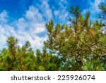 Green Branches Of A Pine With...