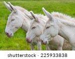 Three White Donkeys In A Row O...