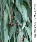 eucalyptus tree leaves  | Shutterstock . vector #225957424