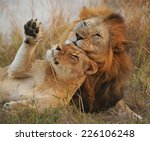 Lion Pair Courtship