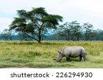 White Rhinoceros Eat Grass In...