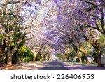 Jacaranda Tree Lined Street In...