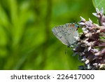 Small photo of Acadian Hairstreak