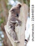 The Marsupial Koala Who Only...