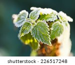 First Frost On Green Nettle...