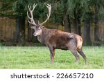 Male Red Deer Standing On A...