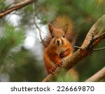cute and curious red squirrel... | Shutterstock . vector #226669870